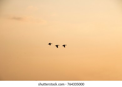 A flock of wild geese flying at sunset