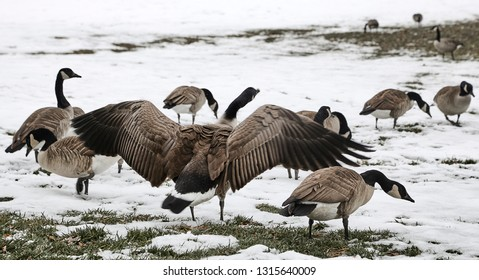 A flock of wild geese in a park with snow on the ground an done of them flapping their wings.