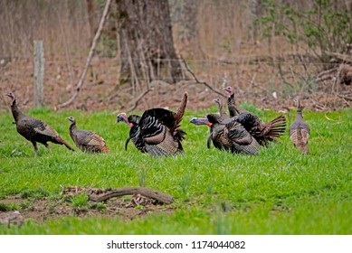 A flock of wild turkeys in Cades Cove feed in green grass.