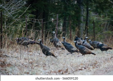 Flock of wild turkeys (Meleagris gallopavo) by a Wisconsin fence line.
