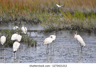 Flock of wood storks foraging for food in the mud at Huntington Beach, South Carolina