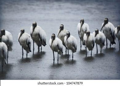 flock-wood-storks-rainy-morning-260nw-10