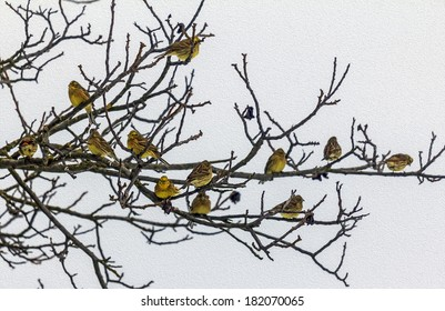 Flock of yellow-hammers sitting on naked tree branches in winter, stylized and filtered to look like an oil painting