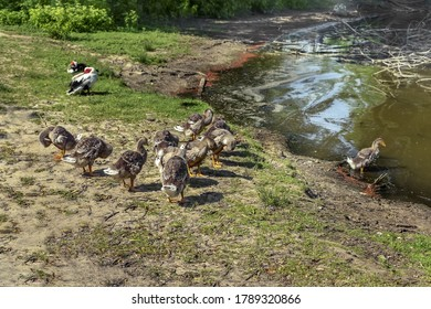 A flock of young domesticated goslings with gray plumage resting on the shore of a pond. Waterfowl birds brush their feathers near the water