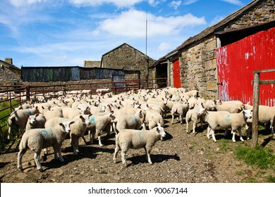 A flock of young sheep about to get their first shearing wait in a holding pen next to a rock and tin barn in the English countryside.