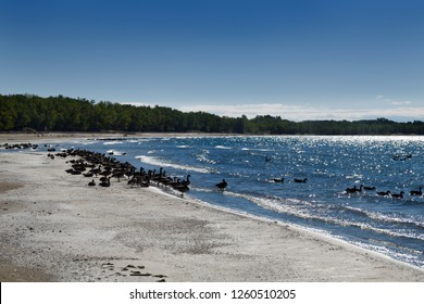 Flocks of Canada Geese on sand at the wide Outlet Beach of Sandbanks Provincial Park in Prince Edward County at Athol Bay Lake Ontario