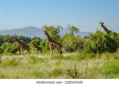 Flocks of giraffes in the savannah of Samburu Park in central Kenya