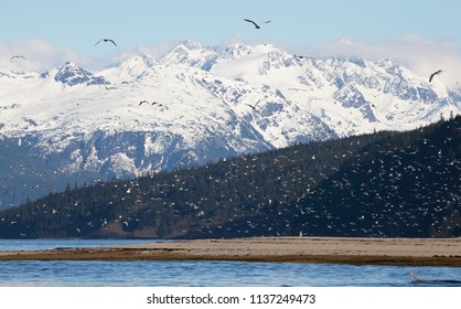 Flocks of sea gulls in spring near the mouth of the Chilkoot river near Haines, Alask during the eulachon fish run.