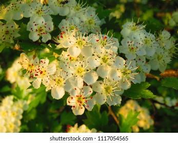 floers of midland hawthorn, Crataegus laevigata,