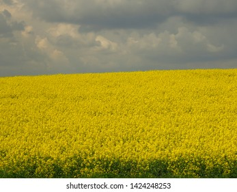 floers of Rapeseed, Brassica napus,