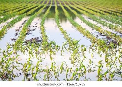Flooded cornfield in the midwestern united states