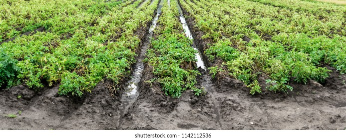 Flooded Potato Field. Agriculture ground after rain under water. Flooded agriculture fields.