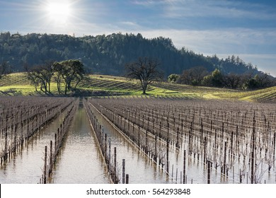 Flooded Vineyard in Sonoma County, CA