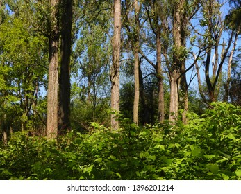 Floodplain forest in meanders, trees, bushes and woody plants typical flora for meanders. In the border meanders, the dominant wood species is the willow, white willow and black poplar.