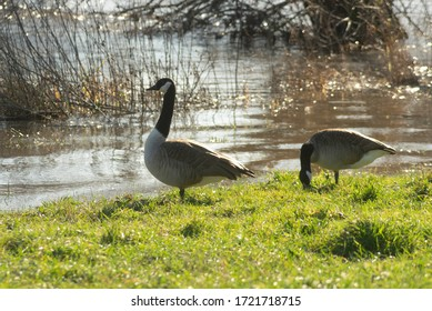 Floods on the river Main with strong currents near Großwallstadt in March 2020 in backlight with 2 Canada geese