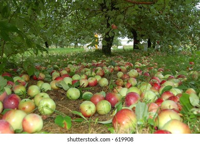 Floor full of apples