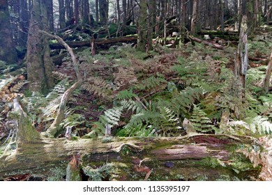 The floor of a high elevation mountain forest covered in thick trees and an old decaying log bristling with branches and covered in moss and lichen up on Mount Mitchell, North Carolina