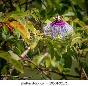 flor de la pasionaria o maracuyá color celeste y purpura sobre follaje verde