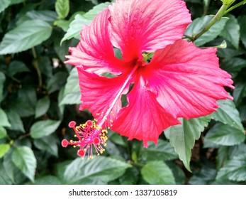Flor Hibisco Rosa