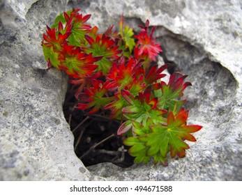The flora of The Burren, Ireland