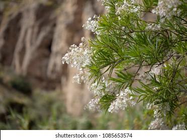 Flora of Canary Islands - abundant flowering of  Convolvulus floridus