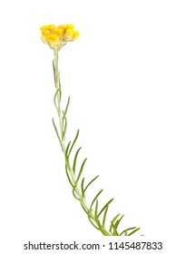 Flora of Cantabria - Helichrysum stoechas isolated on white