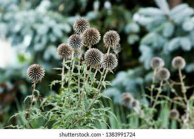 Flora Flowers Backyard Globe Thistle Balls Round Seed Head