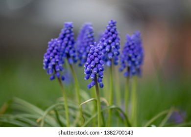 Flora Flowers Purple Grape Hyacinth Yard Front Back Garden