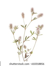 flora of Gra Canaria - Trifolium arvense, hare foot clover, isolated on white