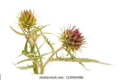 Flora of Gra Canaria - wild cardoon, Cynara cardunculus, globe artichoke