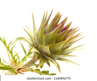 Flora of Gra Canaria - wild cardoon, Cynara cardunculus, globe artichoke isolated on white