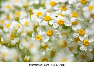 flora of Gran Canaria -  abundant flowering of Gonospermum ferulaceum