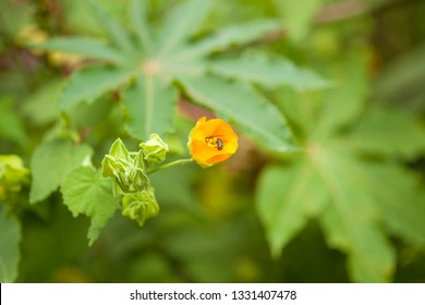 flora of Gran Canaria -  Abutilon grandifolium natural floral background