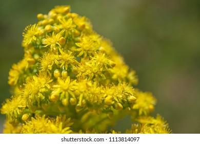 Flora of Gran Canaria -  Aeonium arboreum, tree aeonium