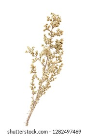 flora of Gran Canaria - Artemisia ramosa, branched wormwood, endemic to Gran Canaria and Tenerife, isolated on white