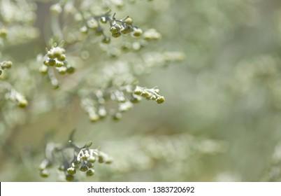Flora of Gran Canaria - Artemisia thuscula, canarian wormwood flowers
