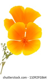 Flora of Gran Canaria - California poppy isolated on white