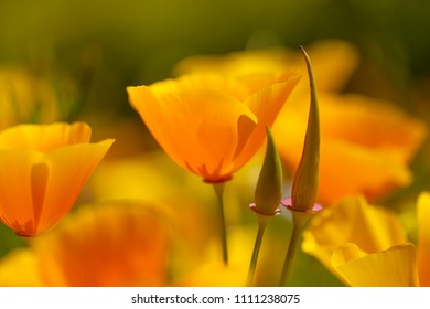 Flora of Gran Canaria - California poppy, introduced plant