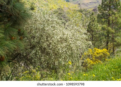 Flora of Gran Canaria - Chamaecytisus proliferus,  tree lucerne, subspecies meridionalis, endemic to the island