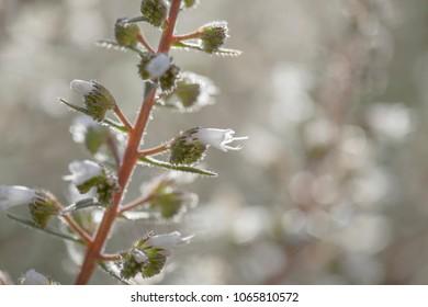 Flora of Gran Canaria - Echium onosmifolium, endemic to the island