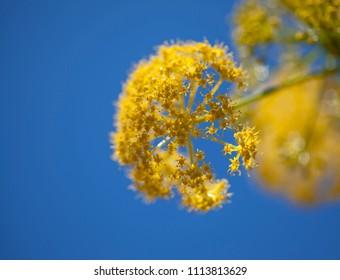 Flora of Gran Canaria - Ferula linkii, Giant Canary Fennel flowers close up