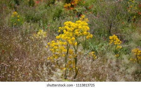 Flora of Gran Canaria - Ferula linkii, Giant Canary Fennel flowers, general view