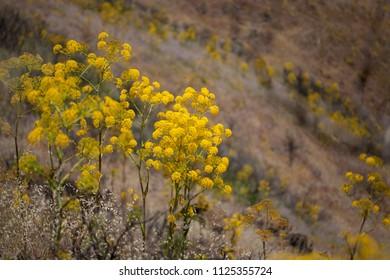 Flora of Gran Canaria - Ferula linkii, Giant Canary Fennel