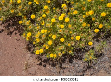 Flora of Gran Canaria -  flowering Asteriscus graveolens endemic to the island