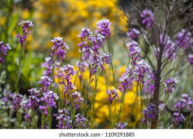 Flora of Gran Canaria -  flowering endemic Erysimum albescens