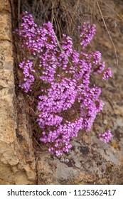 flora of Gran Canaria - flowering Micromeria helianthemifolia, locally called flowery thyme, island endemic