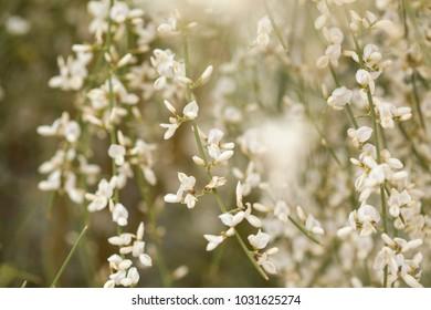Flora of Gran Canaria, flowering Retama rhodorhizoides, subspecies of Retama monosperma, bridal veil retama,   backgound, plant endemic to Canary Islands, natural seasonal floral background
