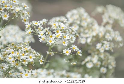 Flora of Gran Canaria - flowering Tanacetum ptarmiciflorum, silver tansy