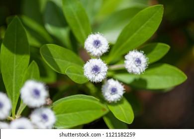 Flora of Gran Canaria - Globularia sarcophylla, rare plant endemic to Gran Canaria
