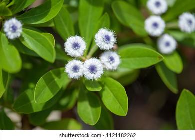 Flora of Gran Canaria - Globularia sarcophylla, rare globe daisy  endemic to Gran Canaria
